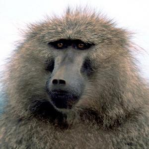 Південна Африка, павіани, мавпи
